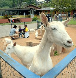 animais_cia_dos_bichos_cabras