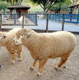 animais_cia_dos_bichos_ovelhas
